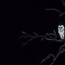 Silent Hunter - Barn Owl by naturalnomad