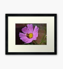 Honey bee on a cosmos flower Framed Print