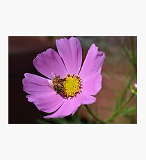 Honey bee on a cosmos flower Photographic Print