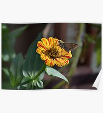 Moth on a Peppermint Zinnia Poster