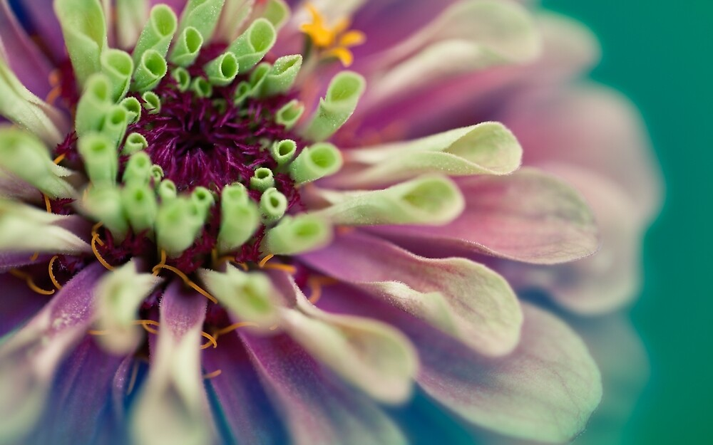 Queen Red Lime Zinnia by Natalie Parker