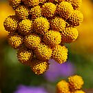 round yellow flowers by Manon Boily