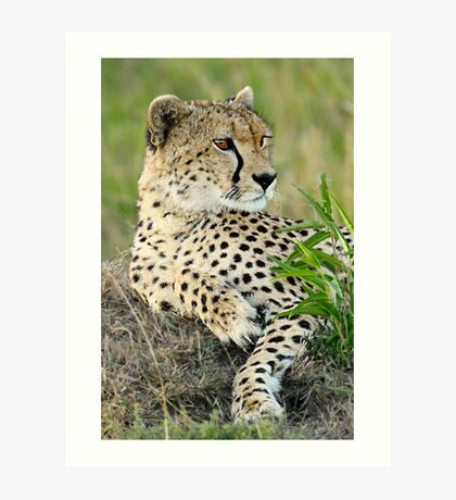 Cheetah Glance Art Print