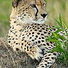 Cheetah Glance by Rhys Herbert