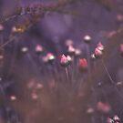 Sheffield Pink Chrysanthemum by Natalie Parker