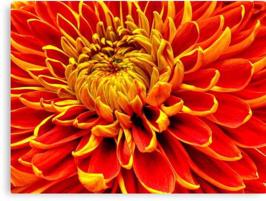 Color Mum Bloom - Macro by glennc70000