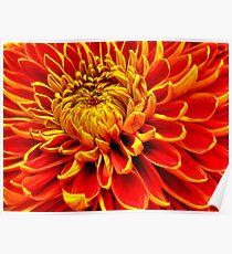 Color Mum Bloom - Macro Poster