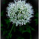 A Single White Allium by Gerda Grice