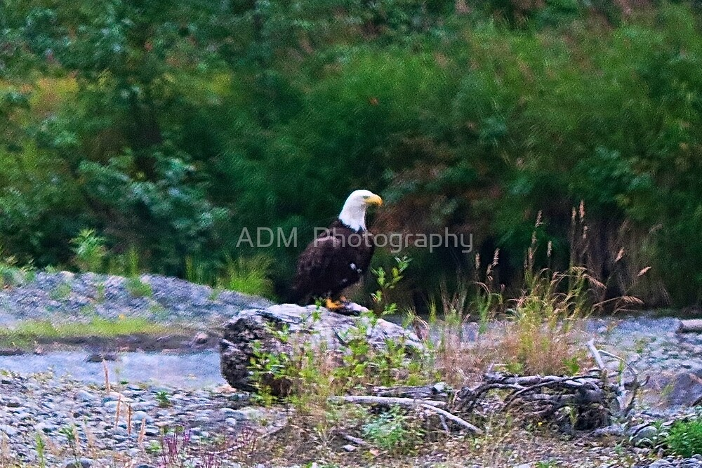 Bald Eagle Guarding its Catch by Amber D Hathaway Photography