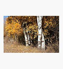 Aspen in Color Photographic Print