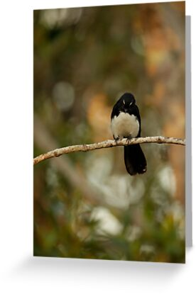 Watchful Willy Wagtail by Sea-Change