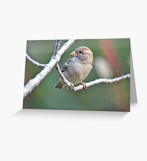 Sweet female house sparrow Greeting Card