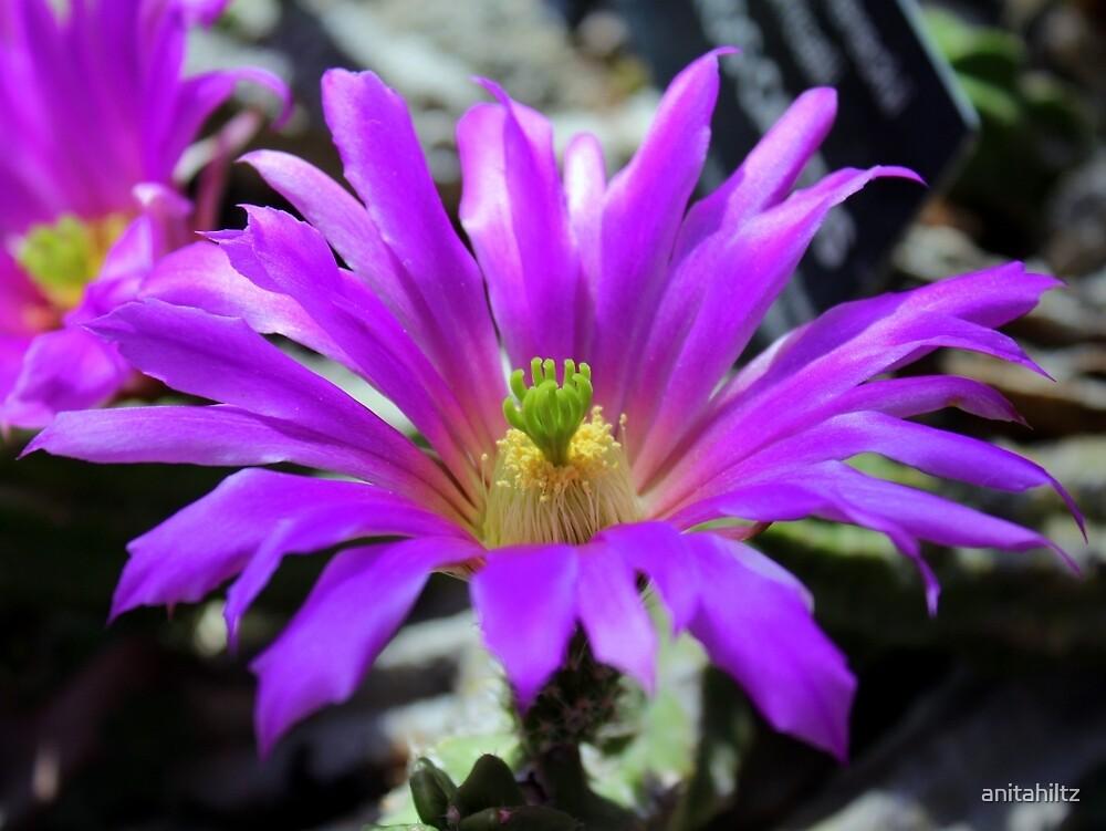 Purple Cactus Flower by anitahiltz