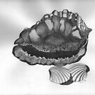 Cassis rufa (Cameo shell)  by Tom McCleary