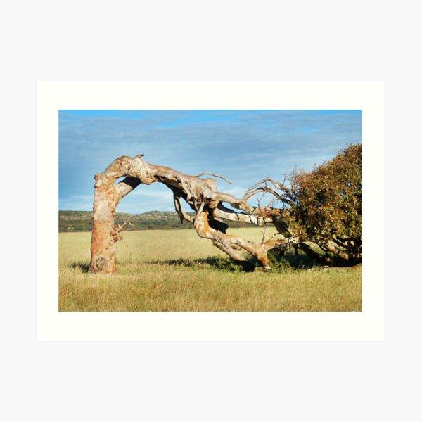 Greenough Leaning Tree Art Print