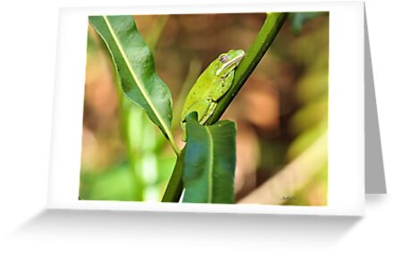 Green Tree Frog by Jeff Ore