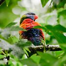 Rainbow Lorikeet by Dilshara Hill