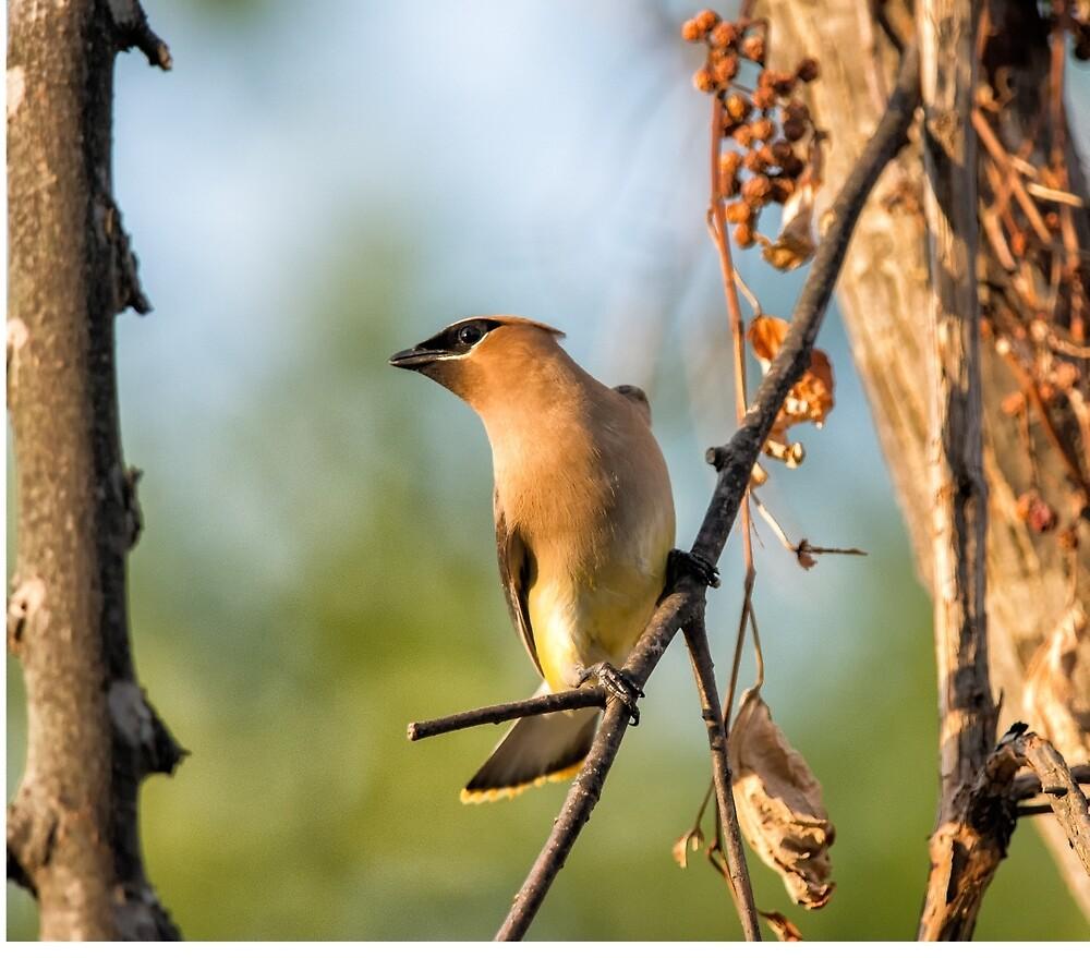 Cedar Waxwing by cardinal5