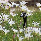 Nesting In A Field Of Lilies by Kathy Baccari