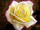 Yellow Rose by Stephen D. Miller