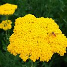 Yellow Yarrow by AnnDixon