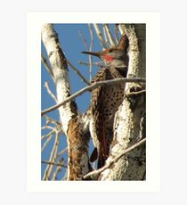 Northern Flicker (Red-shafted)~ Male Art Print