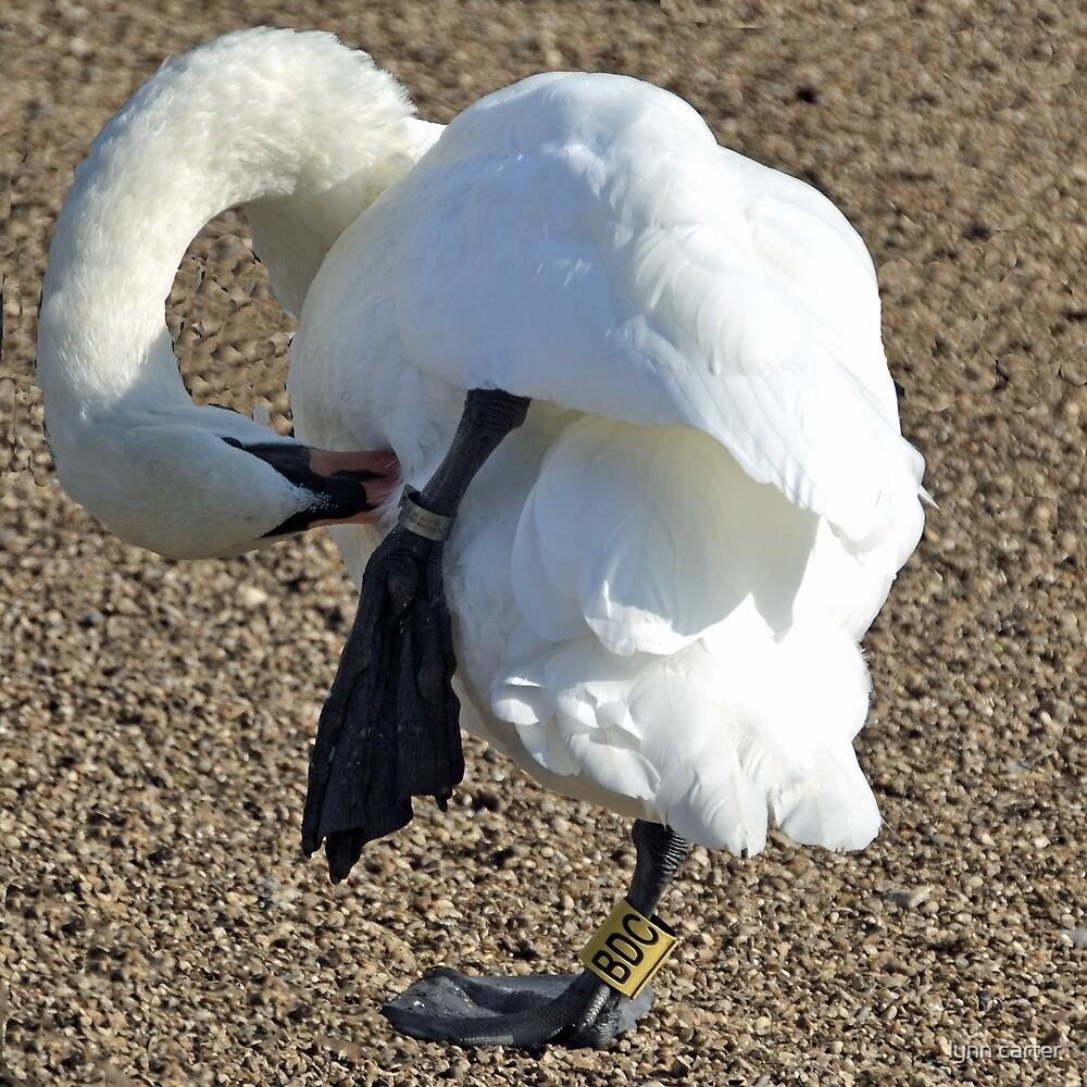 Preening Swan.......... by lynn carter