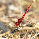Fiery Red Skimmer Dragonfly by Paul  Donaldson