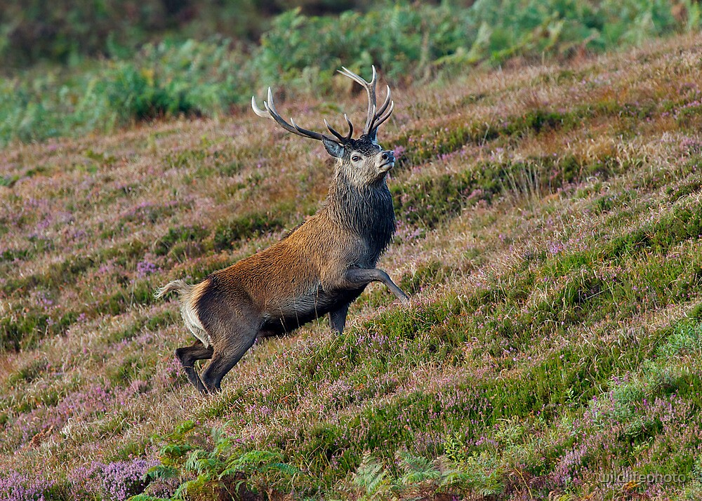 Red Deer stag by wildlifephoto
