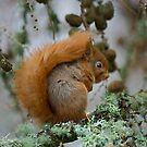 Red Squirrel in winter by wildlifephoto