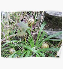 Grouped Snails Poster
