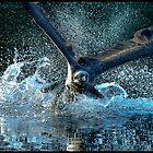 Osprey 392 by John Van-Den-Broeke