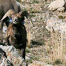 Stansbury Mountain - Desert Big Horn Sheep, Utah by Robbie Knight