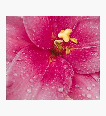 Pink Lily's Heart Photographic Print