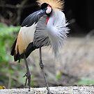 African Grey Crown Crane, Singapore.  by Ralph de Zilva