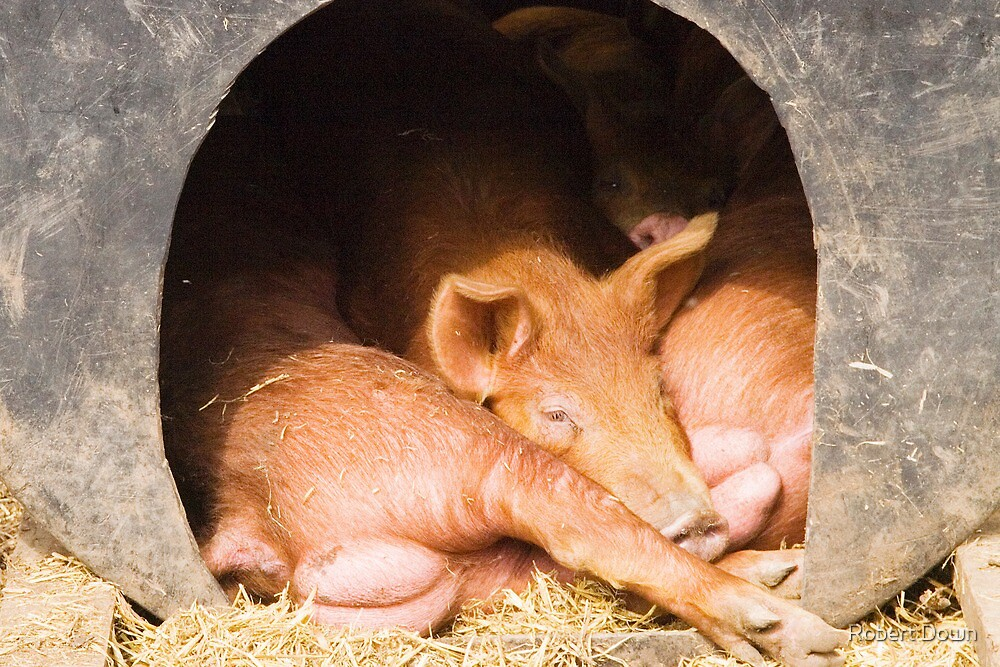 Piglets by Robert Down