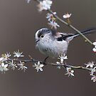 Long-tailed tit and mayflower by wildlifephoto