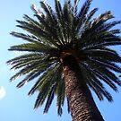Palm Tree by jezkemp