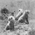 Cheetah's cubs, Masai Mara, Kenya by javarman