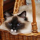 Murphy in wicker carriage by Marjorie Wallace