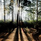 Shadows & Tall Trees by martin bullimore