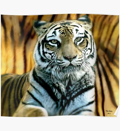Portrait of a beautiful Tiger Poster