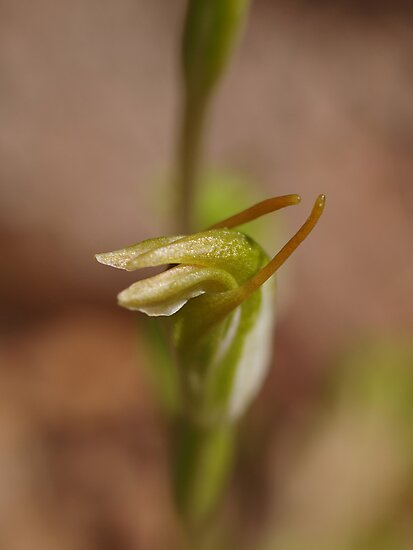 Snail Orchid by kalaryder
