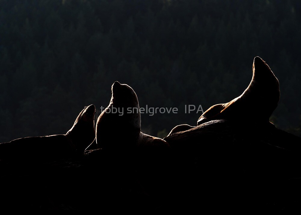 Sea Lion Silhouette  by toby snelgrove  IPA