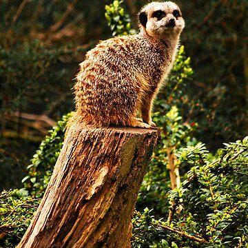 Meerkat by Lowcorsa