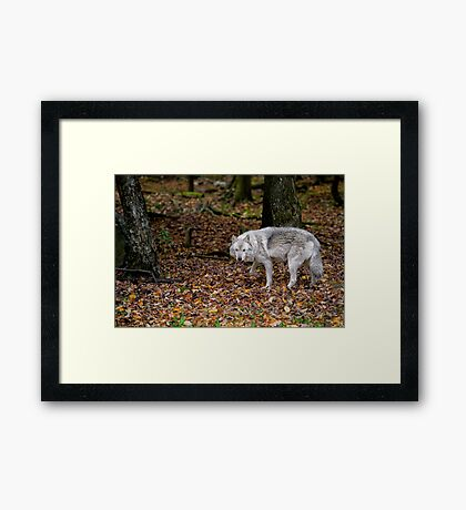 Lone wolf on the move Framed Print