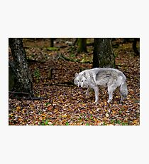 Lone wolf on the move Photographic Print