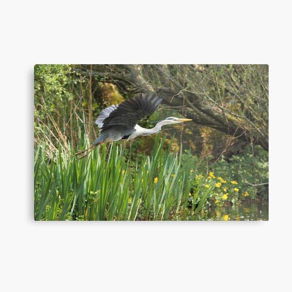 Grey Heron Metal Print