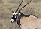 Gemsbok chewing the grass by Will Hore-Lacy