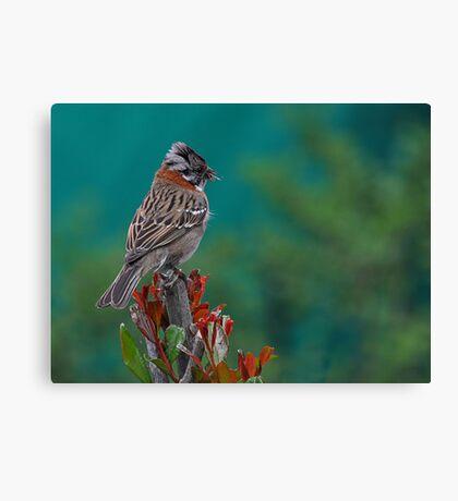 Rufous-Collared Sparrow Canvas Print